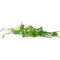 Tam Rung (Ivy Gourd) kg