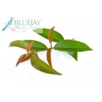 Cha Muang leaf Kg