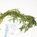 Water Mimosa kg